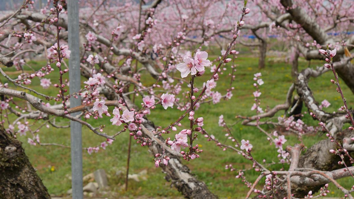 この木は既に摘花がされています