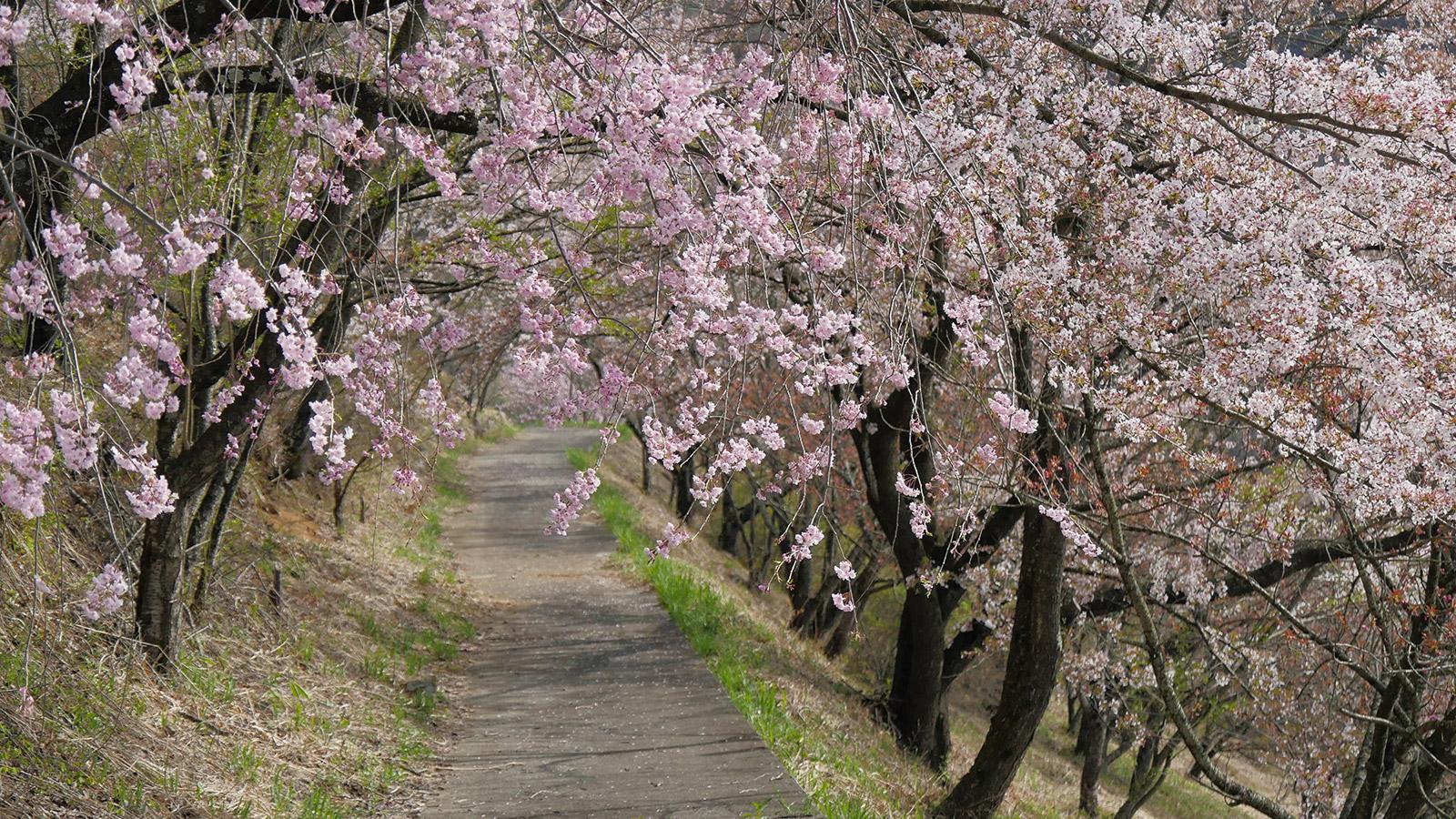 桜もソメイヨシノは散り枝垂系が咲いていました