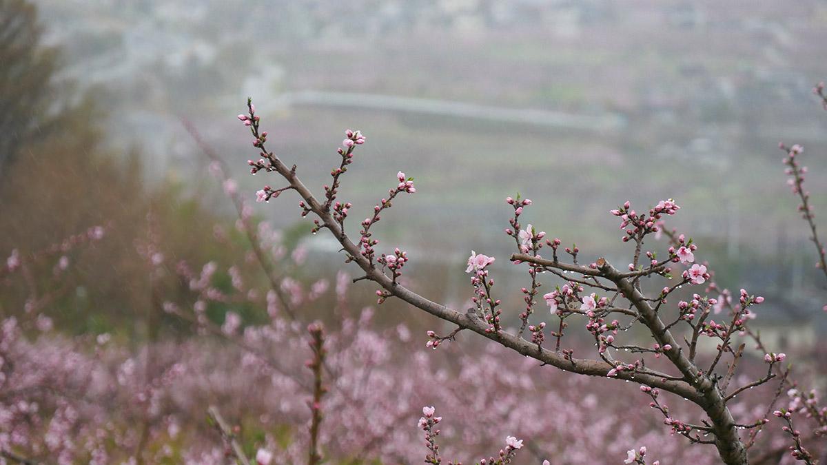 咲き始めの木