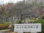 公園入り口の花桃も咲き始め