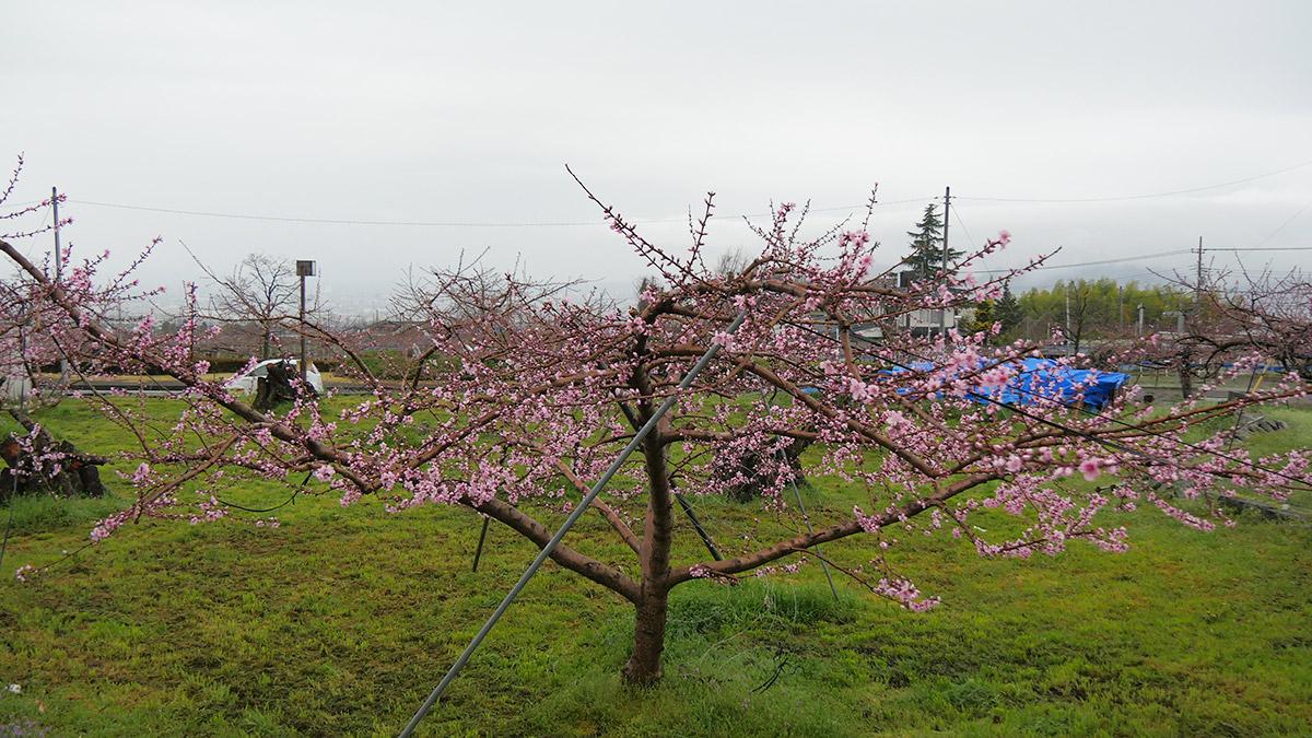 周辺で進んでいる木はこれくらい咲いています
