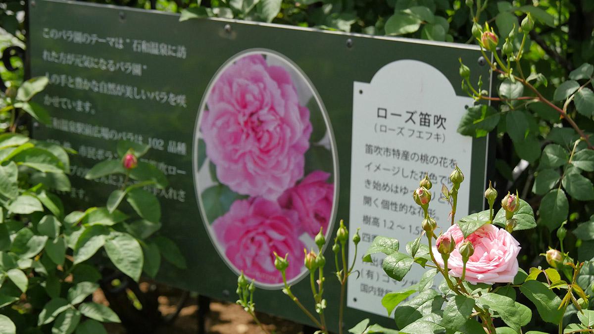 笛吹市をイメージたバラで品種登録もされているそうです