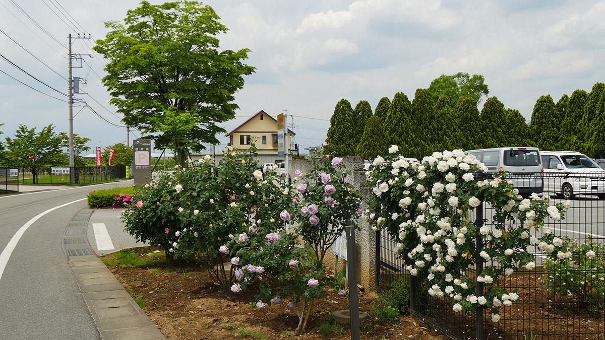 正門脇のバラも咲いて来ました
