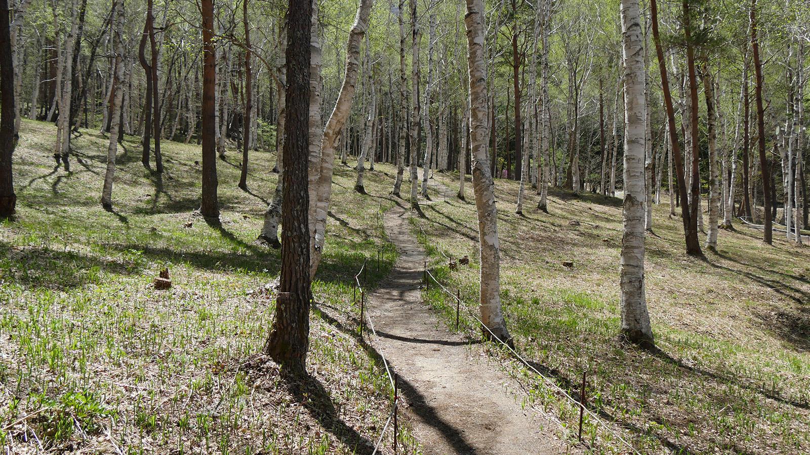 白樺林を抜ける遊歩道 すずらんの小径