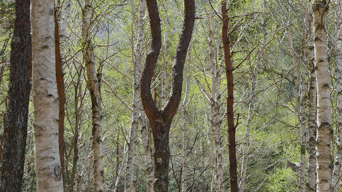 音叉に似た松の木 他にも色々と楽しめる木が沢山あります