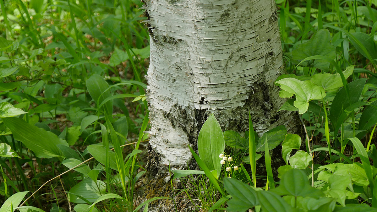 白樺の根元に咲くすずらんも見納め