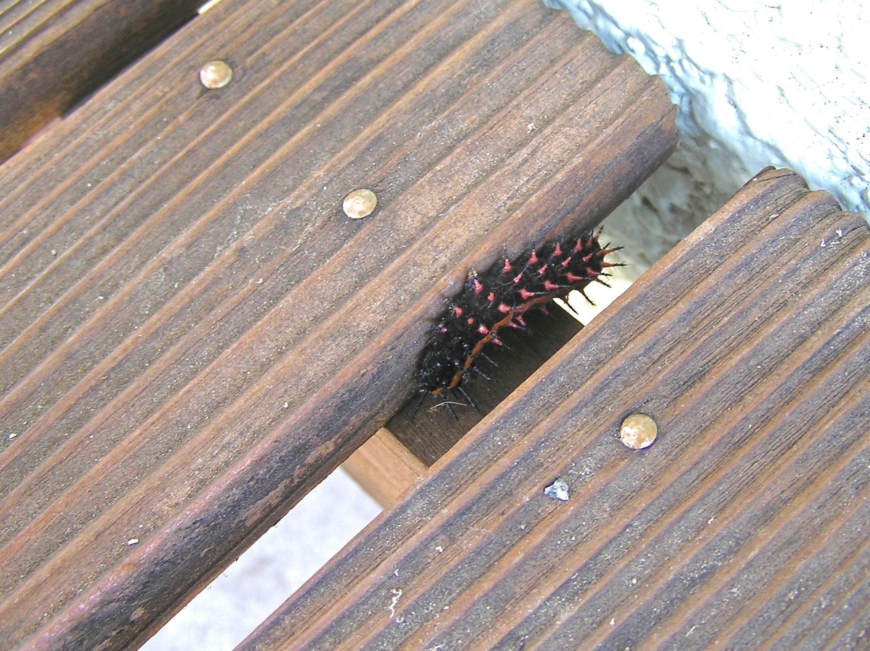 幼虫は派手ですが毒はありません。