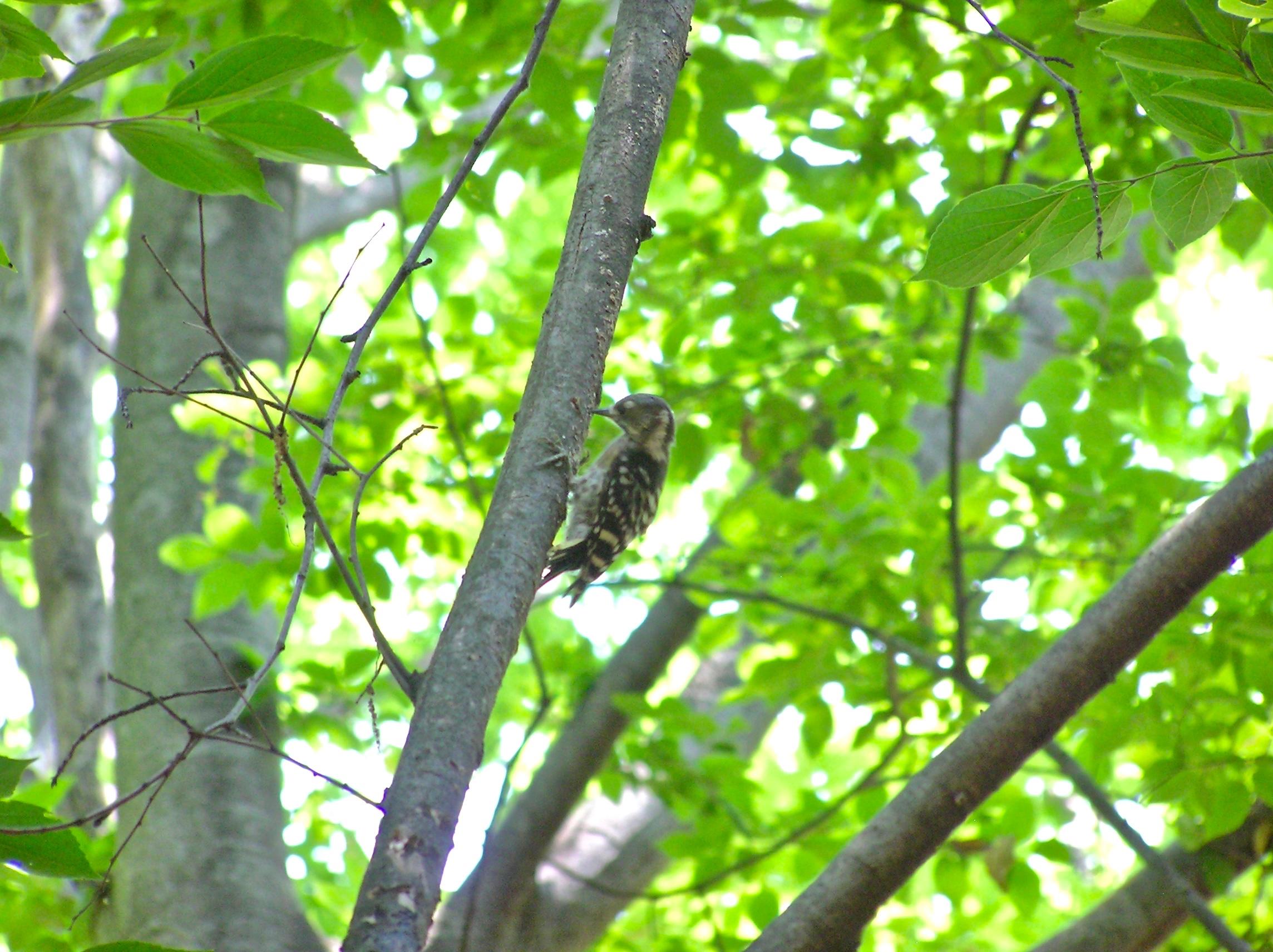 コゲラも木陰を求めているようです。