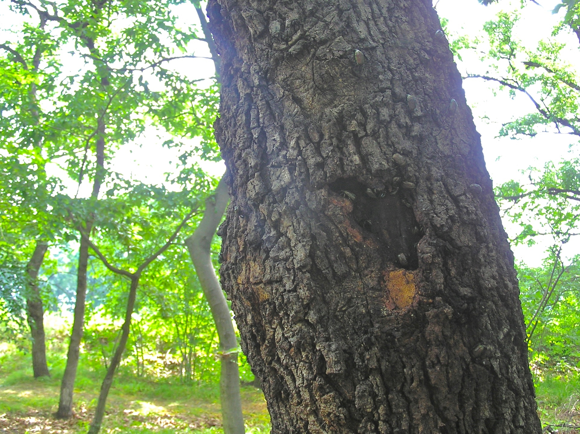 この木だけで30匹以上のカナブンがいましたよ。