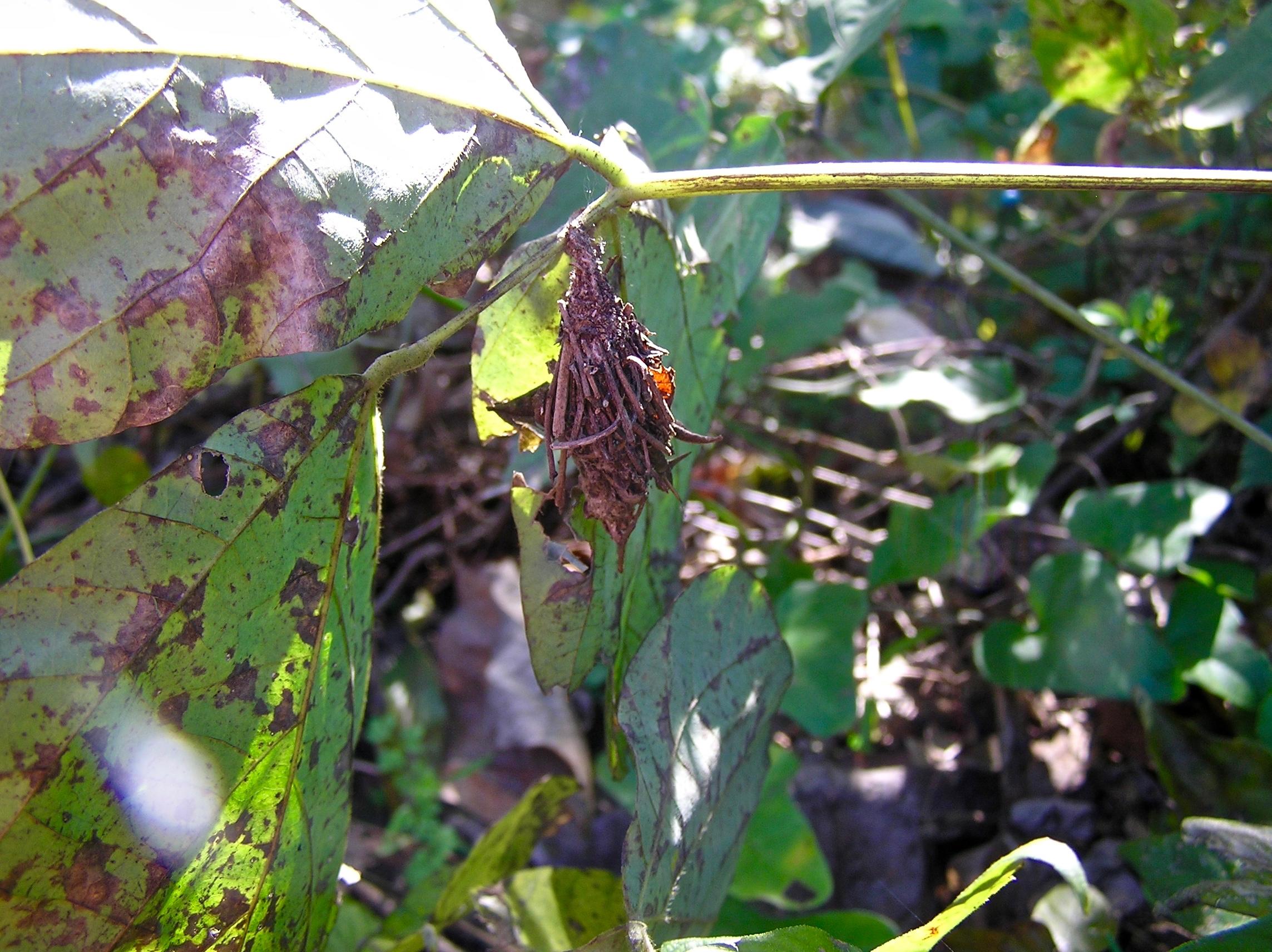 ミノムシ(ミノガの幼虫)