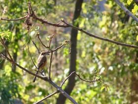 眼光鋭いモズ〜金川の森で