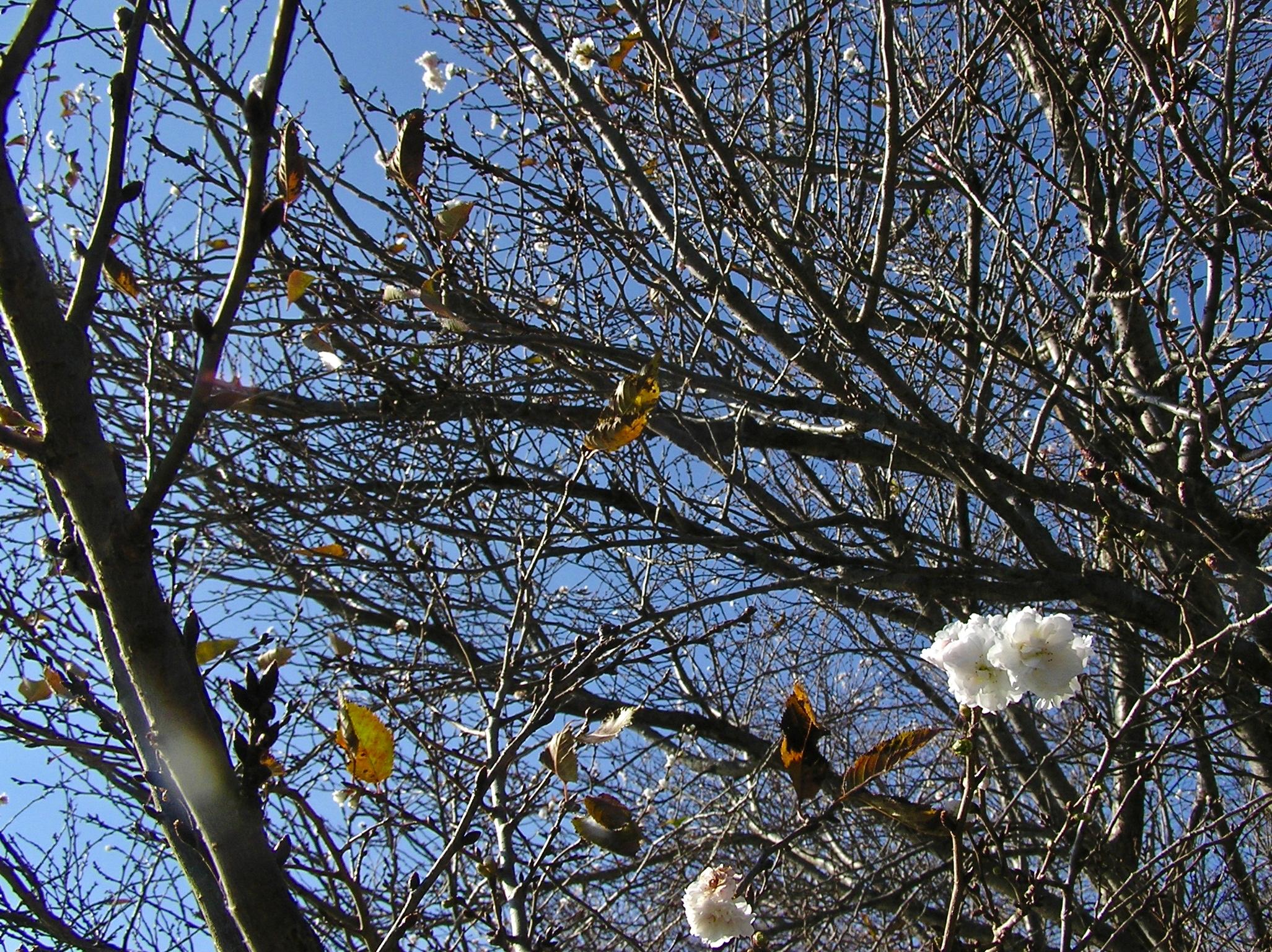 冬桜咲いていた。