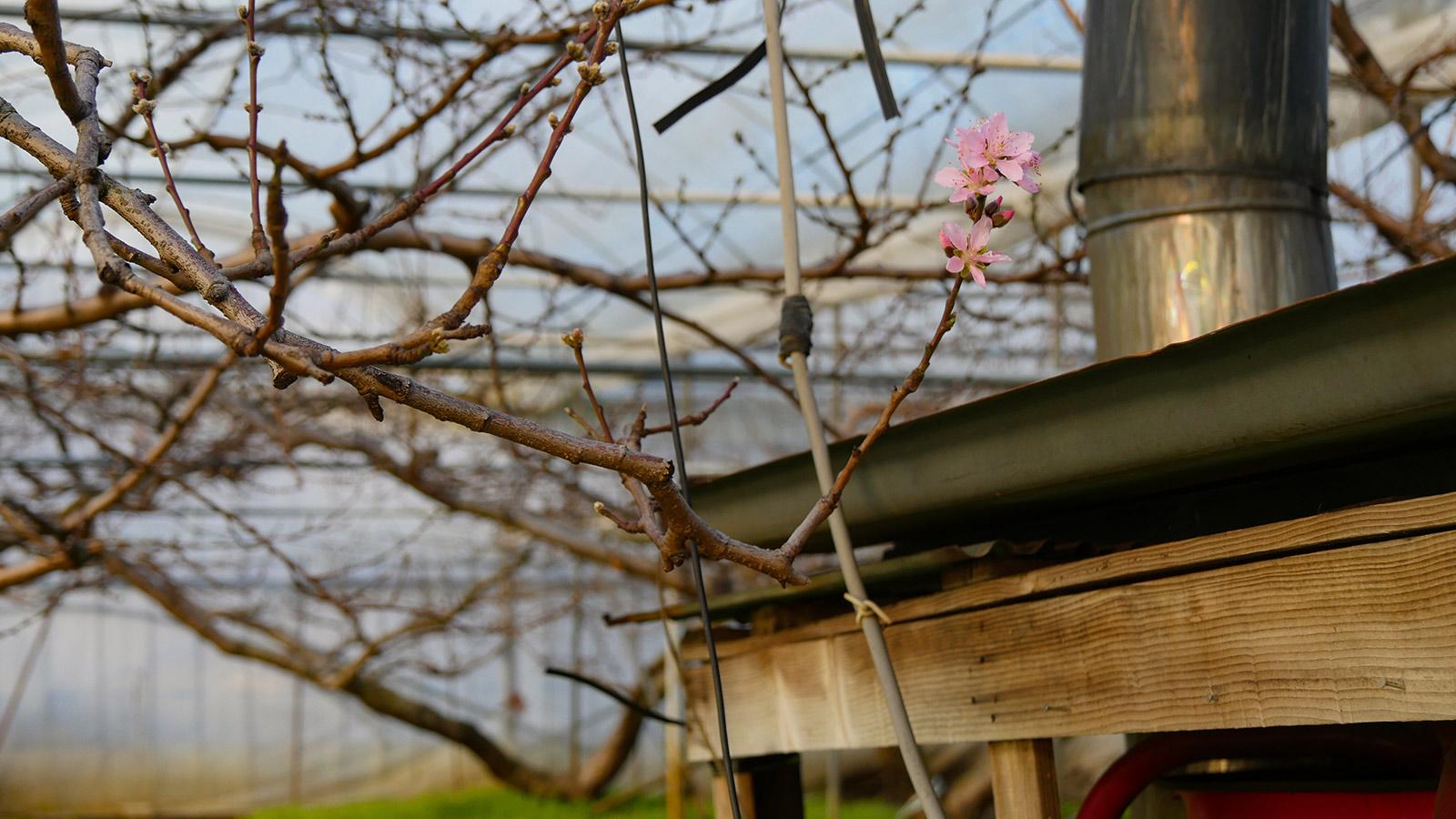 ボイラー横の枝ですが、煙突の輻射熱のせいか唯一ハウス内で咲いていました。