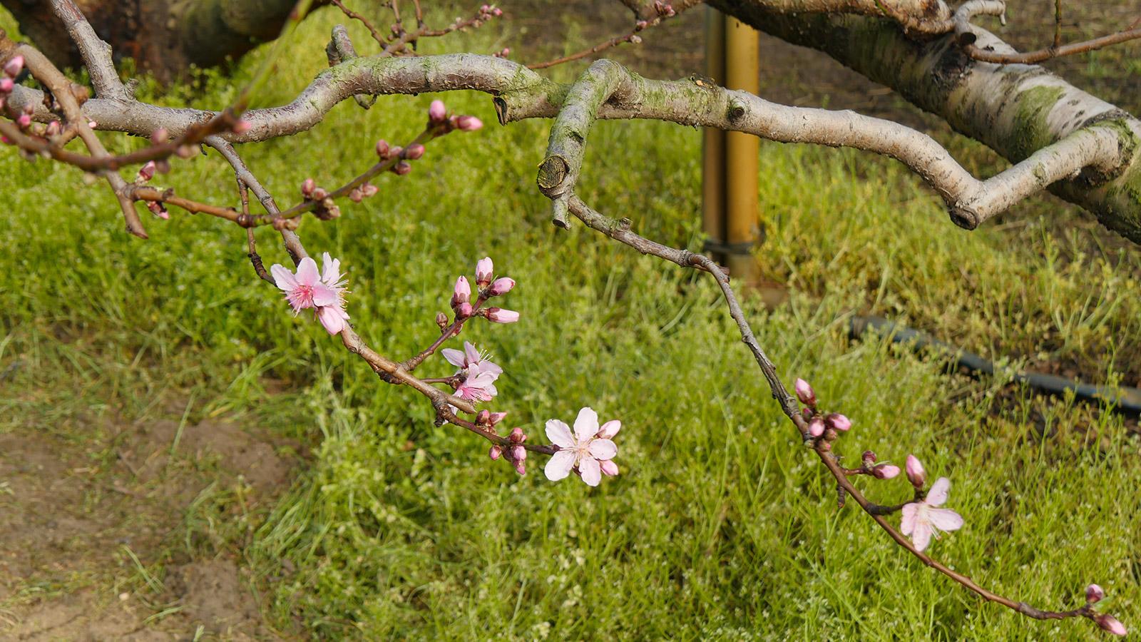 木に近いところはこのように草も残っていますが、ピンクが映えやすいですね。