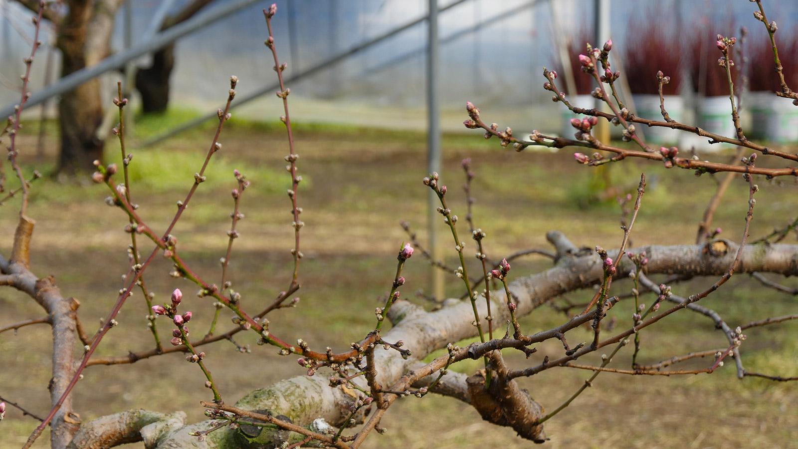 ここは咲いてはいませんが、蕾もだいぶ膨らんでいます。