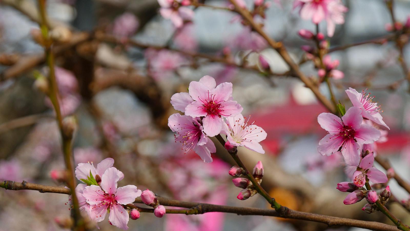 きれいに咲き揃ってきました。
