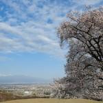2018年 八代町ふるさと公園 桜の開花情報 第6回