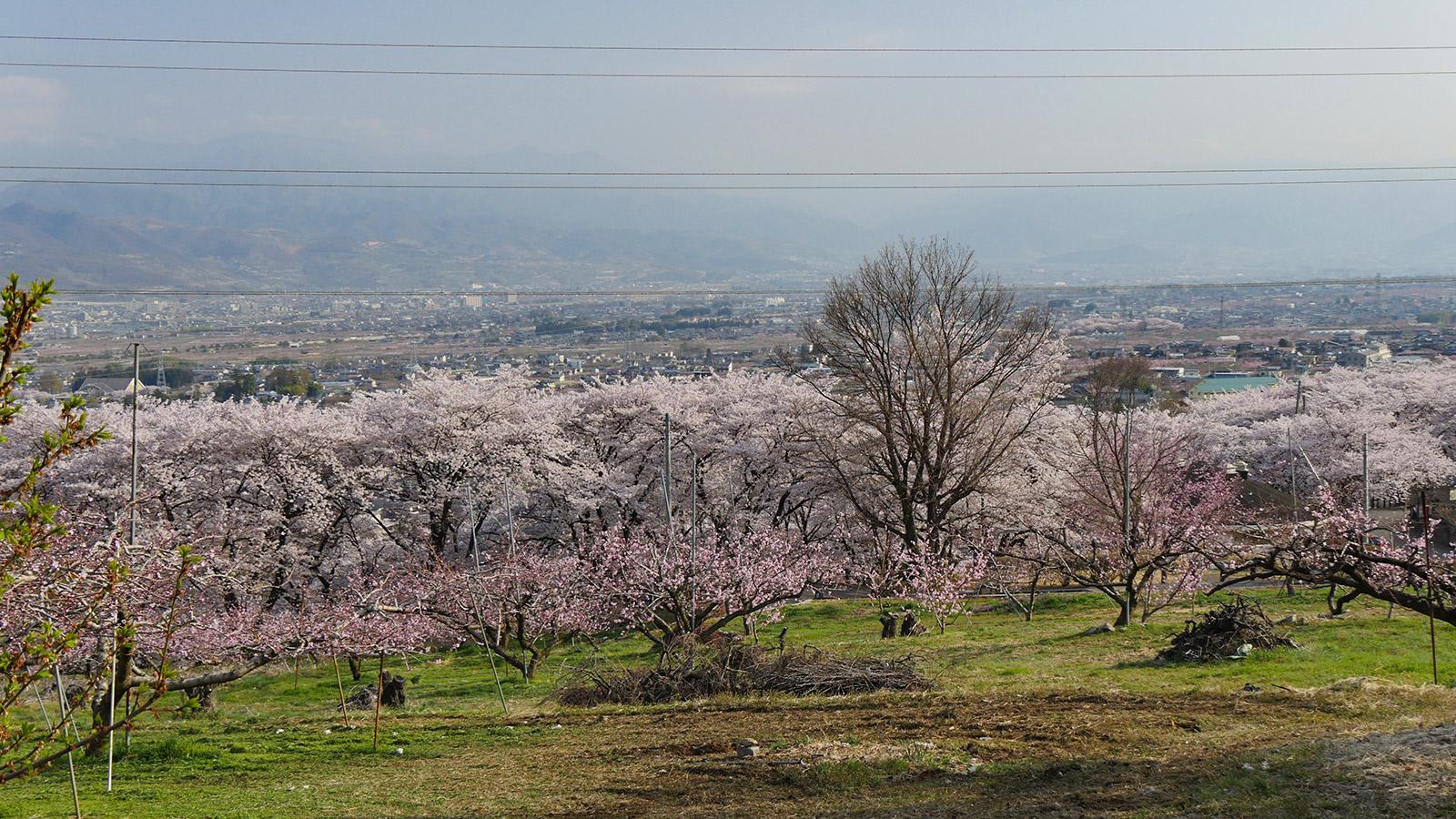 桜並木のピンクの低木が桃の花です