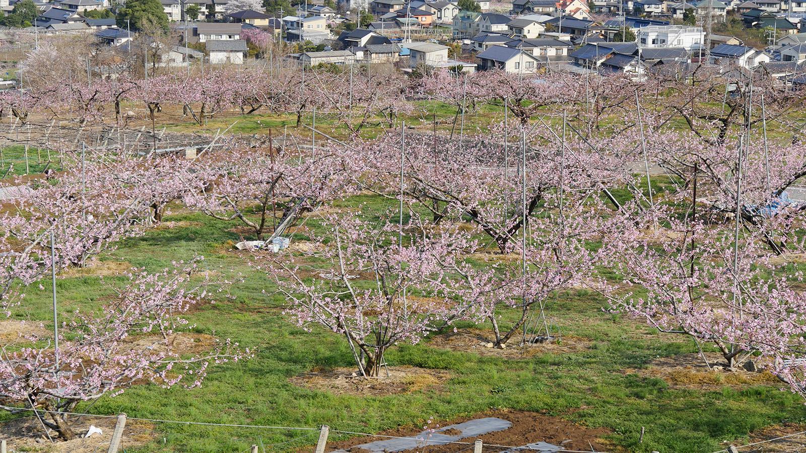 公園手前にあります桃畑