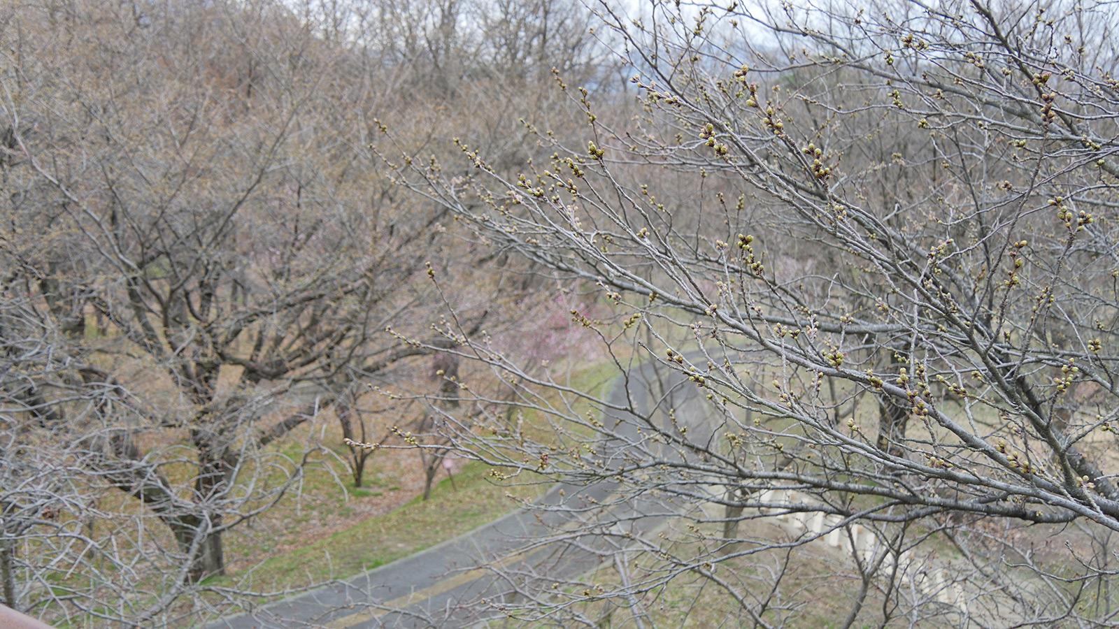 花見台の塔の上から望む高枝周辺は、やや蕾が遅れているようでした