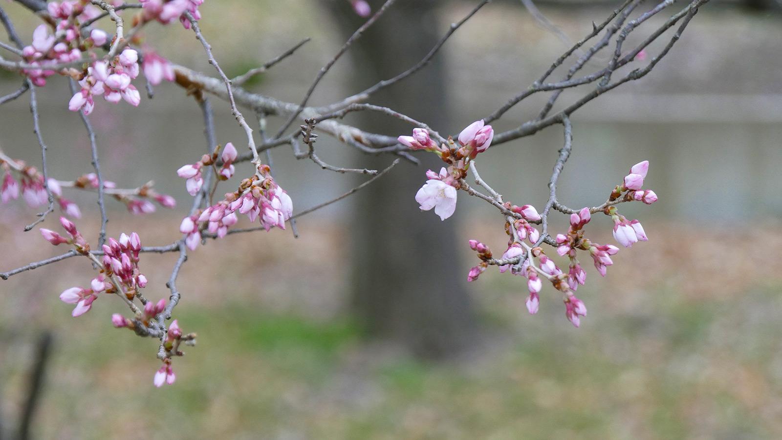 小彼岸桜のようです