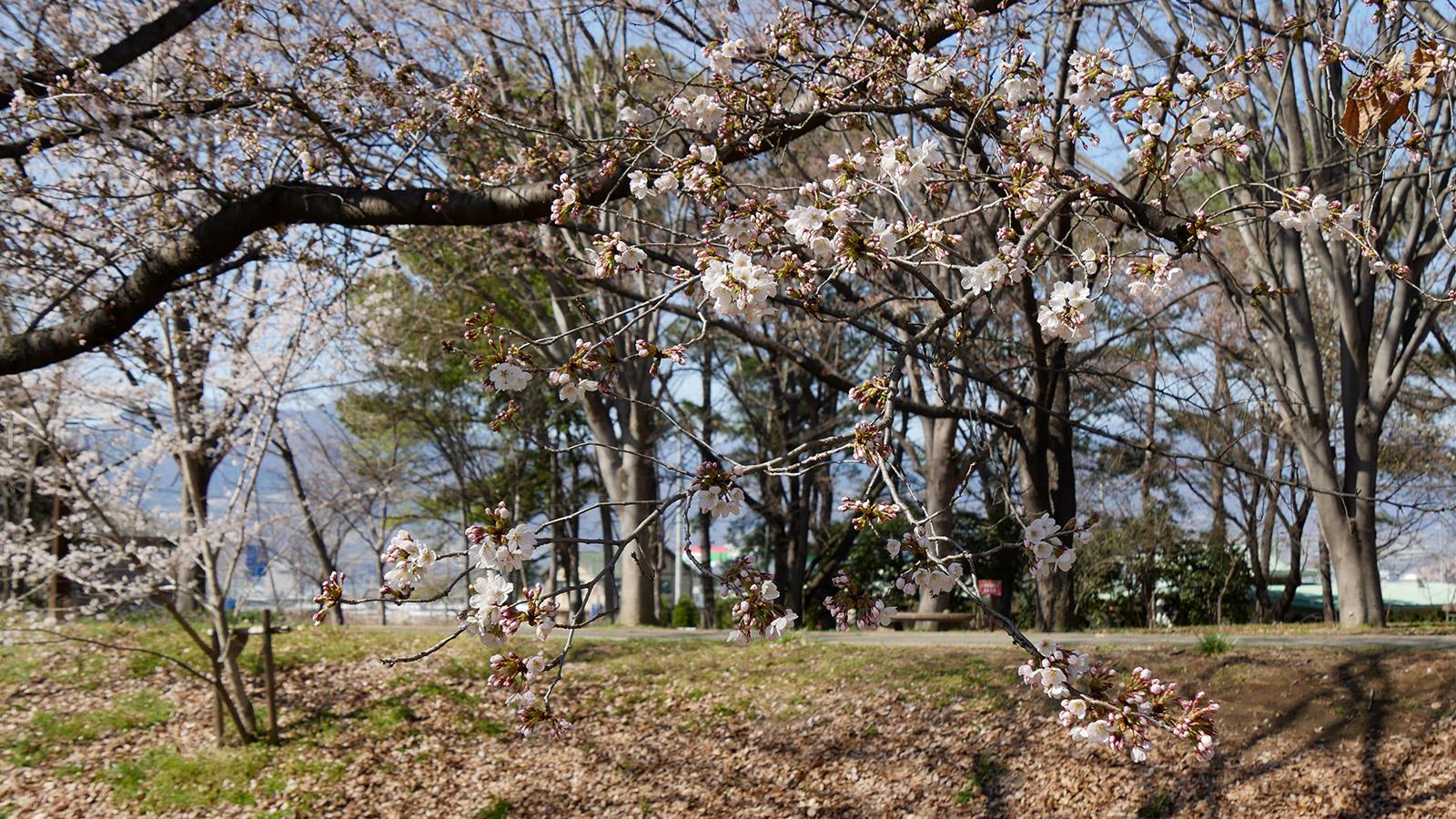 2018kanegawanomori0325_003
