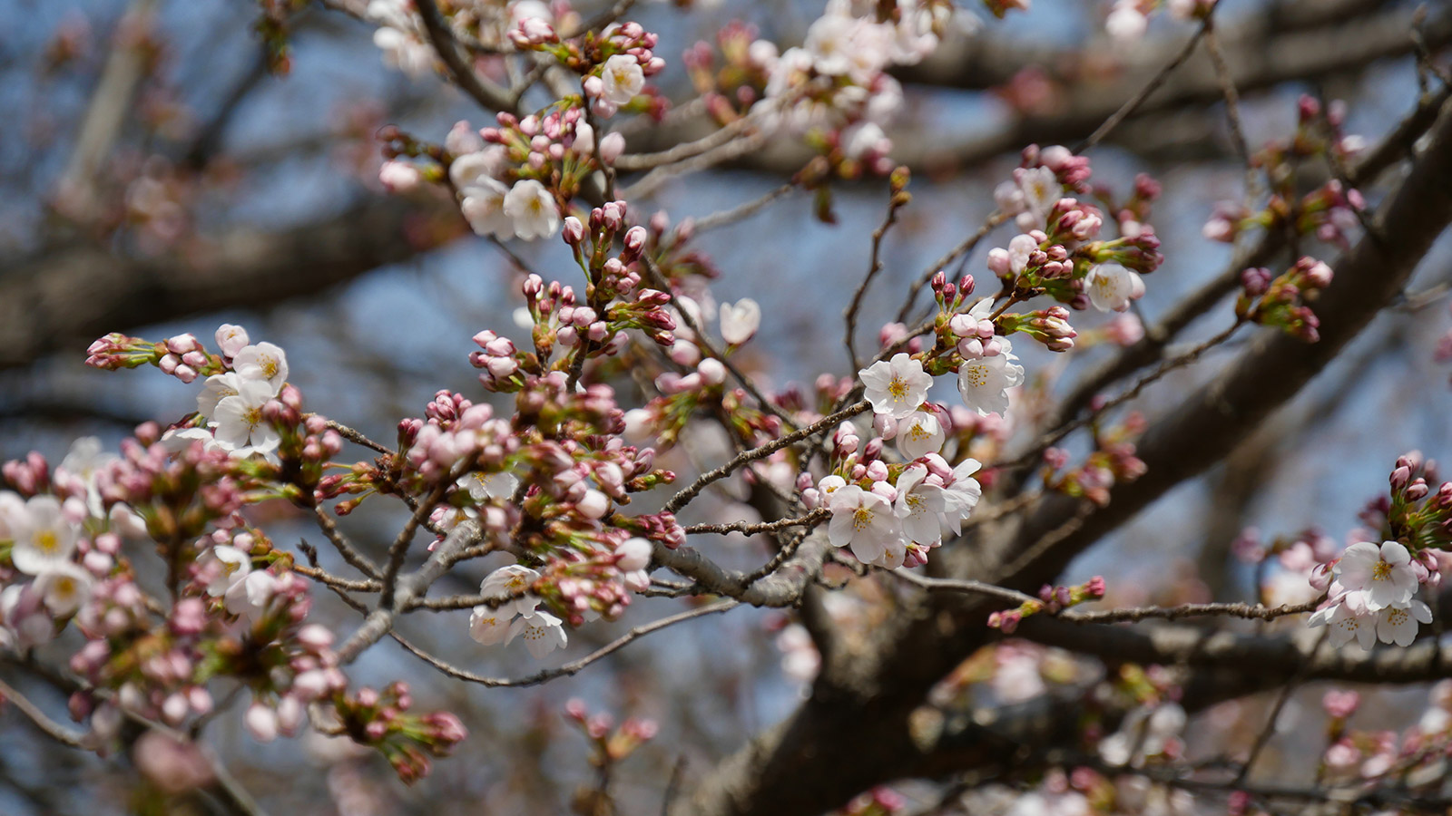 城址入り口左側の桜、一本だけ毎年早く咲きます。