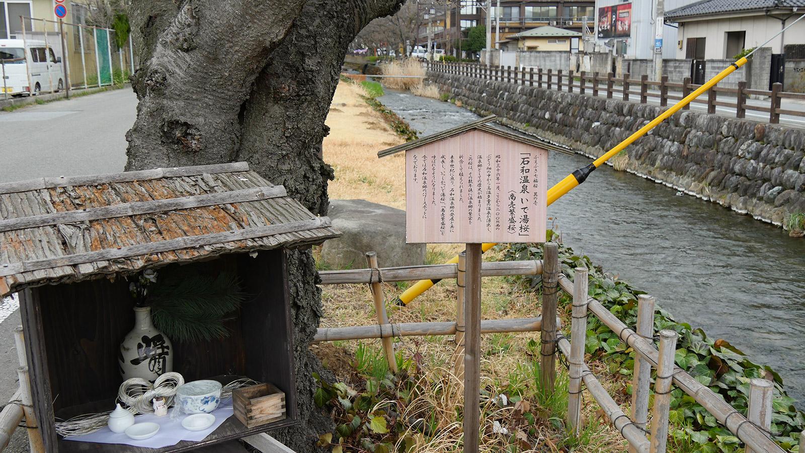 「いで湯桜」昭和36年の石和温泉湧出後に植えられた記念樹だそうで、笛吹市の商売繁盛桜として七福桜の一つに数えられれています。