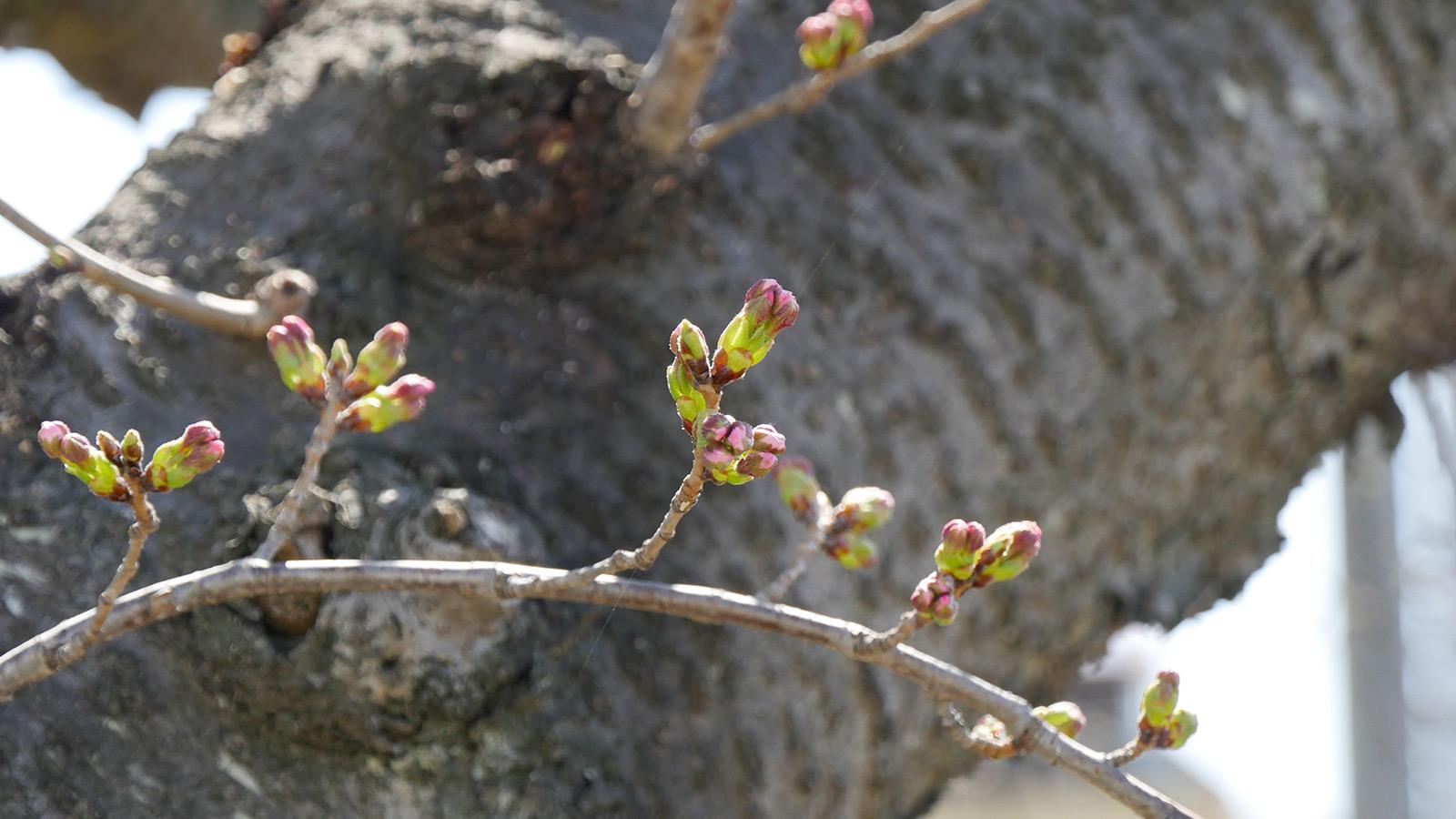 桜並木西側に位置するいで湯桜です。周辺でも蕾が進んでおり、この木の中で一番進んでいそうな蕾です。