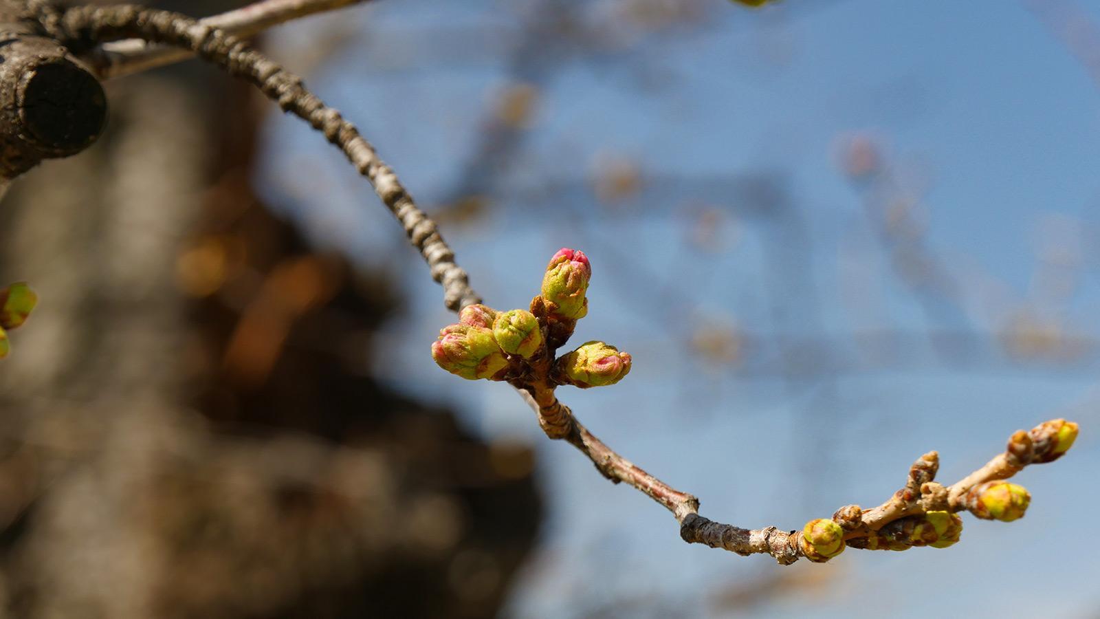 気温推移にもよりますが、今週には咲き始めるでしょうね。