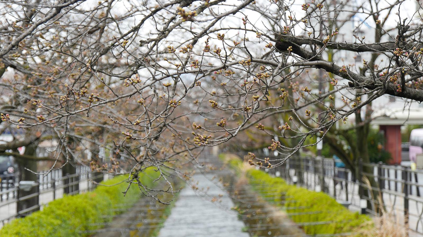 ここからは、さくら温泉通り東側辺りです。いで湯桜よりは、ほんの少し遅れている感じですね。