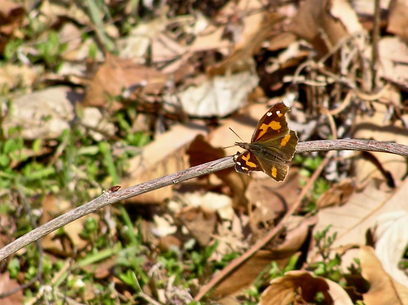 春を知らせる蝶のひとつ