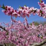 2018年 八代町奈良原周辺 桃の開花情報 第5回