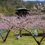 2018年 一宮町花見台周辺 桃の開花情報 第6回
