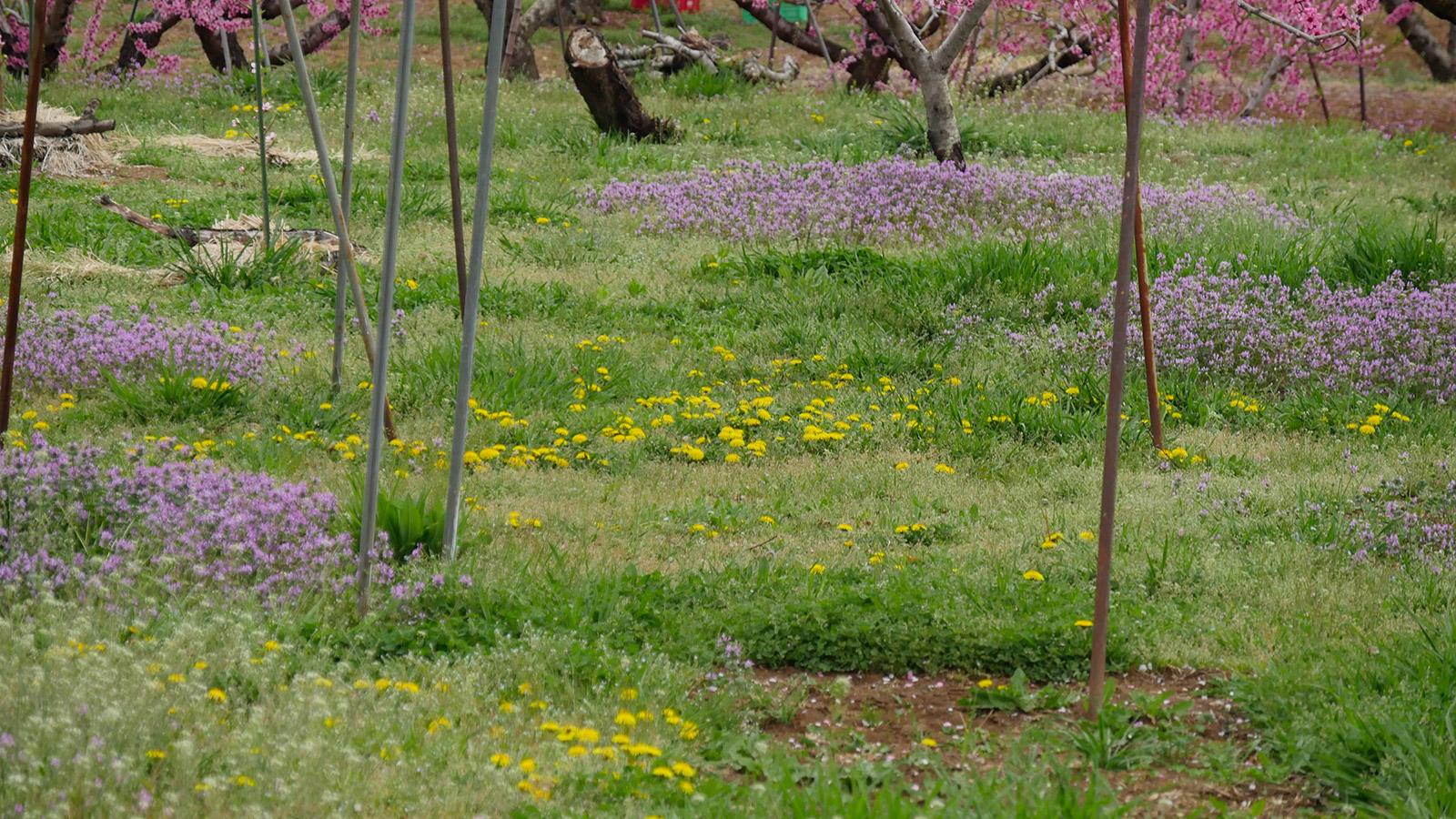 桃の花に目が行きがちですが、下草の野草もキレイに咲いています。