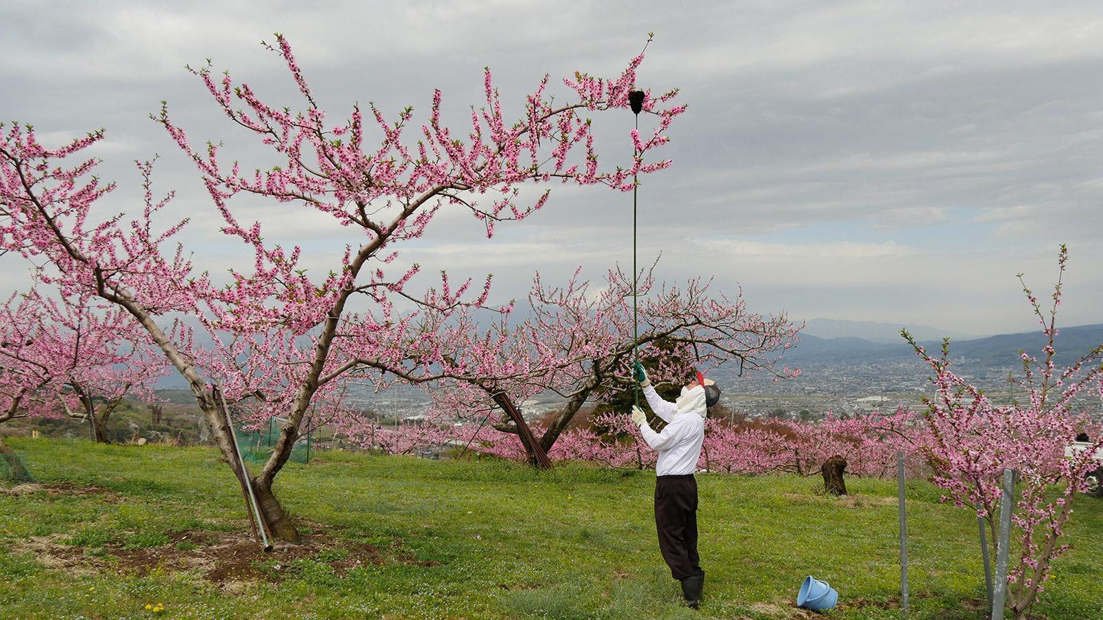 この時期、毎年桃畑をお花見用に開放してくれています。杉岡さん