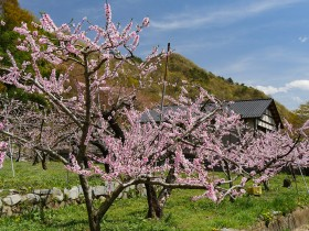 ここから4枚は公園横の畑ですが、展望台へ上がって行く途中にも桃畑はいくつかあります