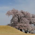 2018年 八代町ふるさと公園 桜の開花情報 第7回