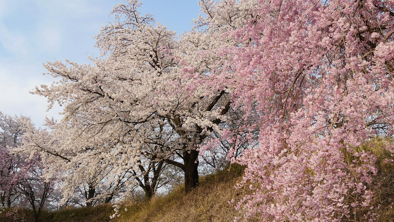 枝垂れ桜とのグラデーションが綺麗でした