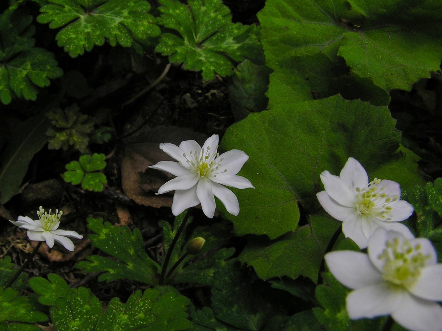 こちらは八重咲きのもの。