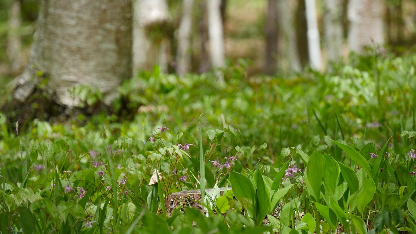 イカリ草があちこちで咲いていました。