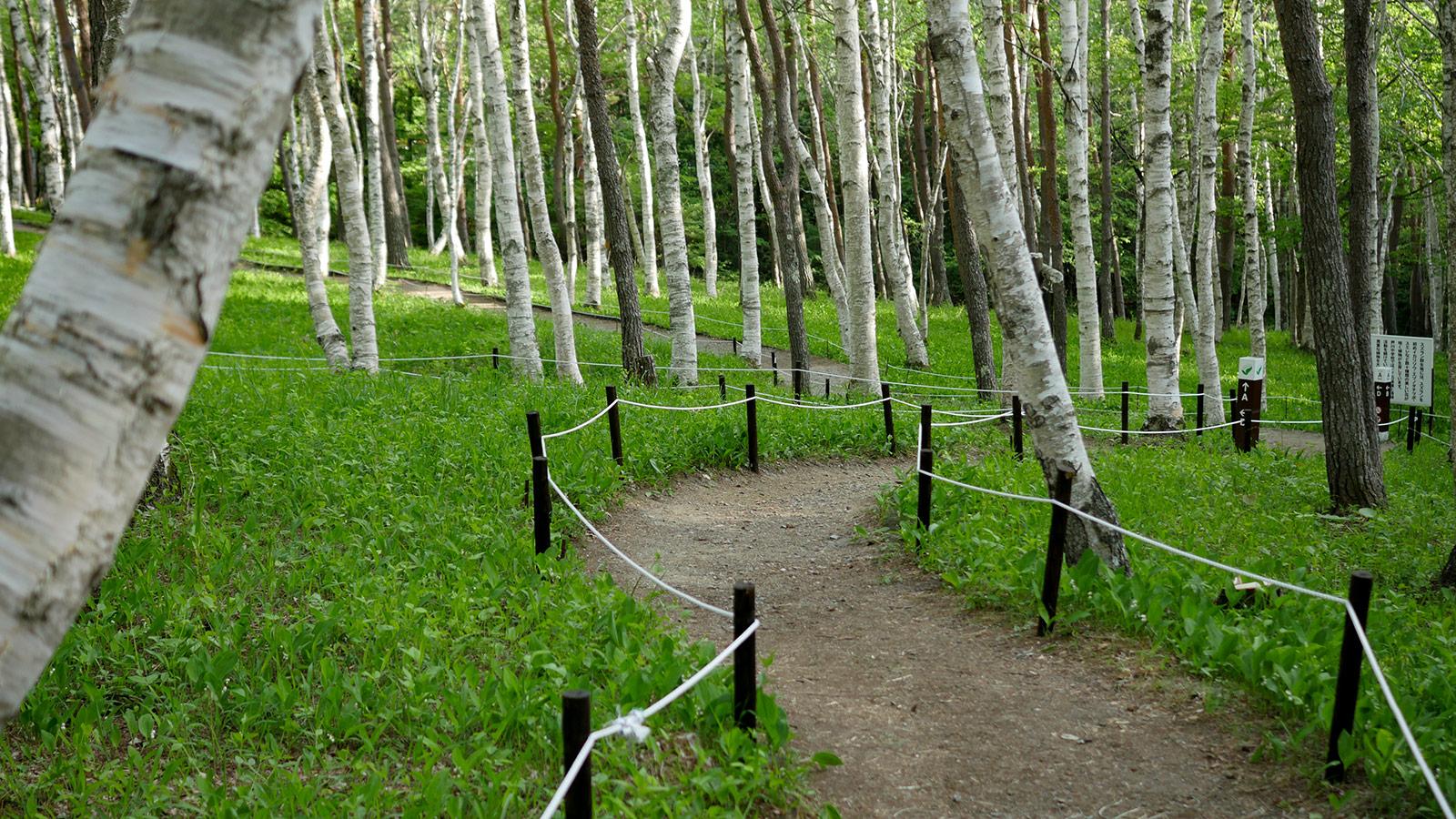 白樺林の中を歩くだけで、癒されます。そして微かに香る、すずらんの香り、ニュービ〜ズ〜って感じです。