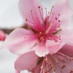 第4回 石和町富士見地区ハウス桃の開花情報