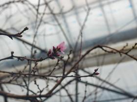 毎年ですが一番開花はボイラーの煙突近くの枝です