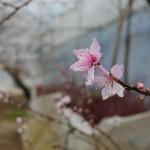 第2回 石和町富士見地区ハウス桃の開花情報