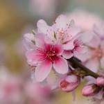 第3回 石和町富士見地区ハウス桃の開花情報
