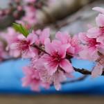 第5回 石和町富士見地区ハウス桃の開花情報